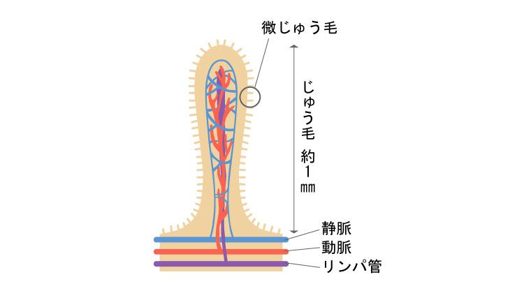 じゅう毛の構造