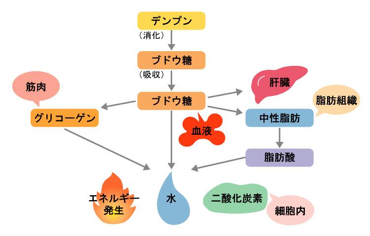 炭水化物(糖質)の代謝